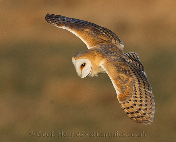 Barn Owl Hunting Stuartpics Co Uk Photography By Geoff