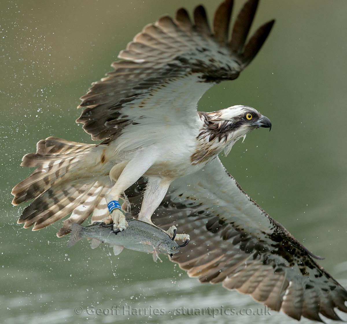 Kites And Ospreys Stuartpics Co Uk Photography By