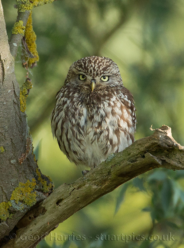 Little Owl And Owlet Stuartpics Co Uk Photography By