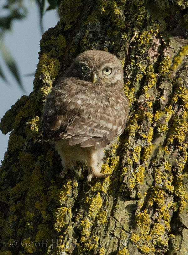 little owl and owlet
