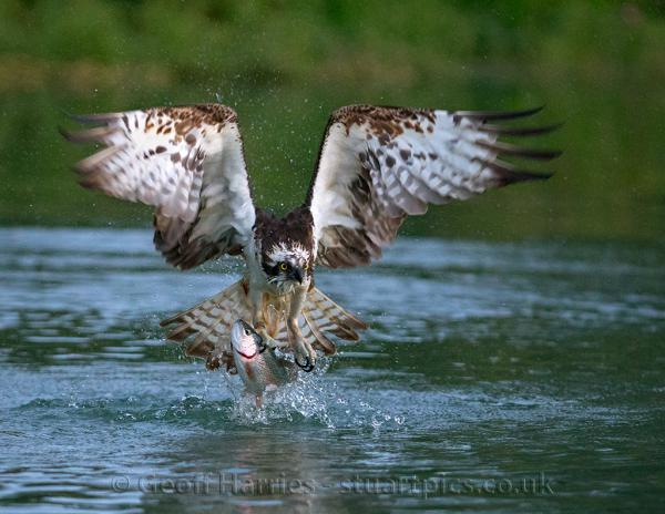 Osprey catching fish photography by for Osprey catching fish