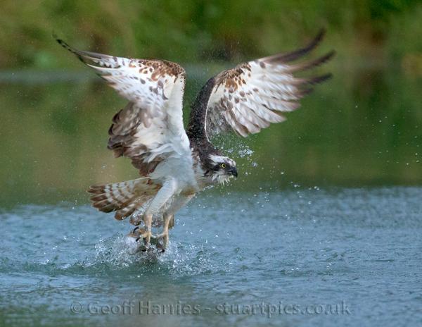 Osprey Catching Fish Stuartpics Co Uk Photography By