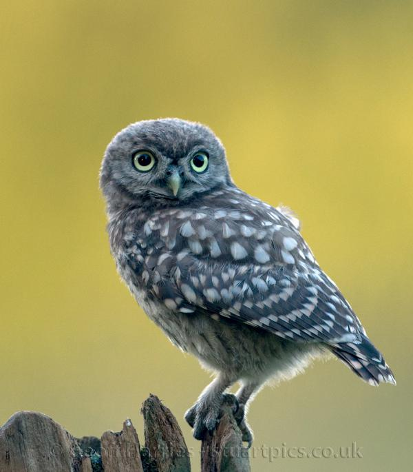 Owlets | Stuartpics.co...